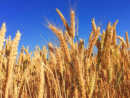 gluten in wheat